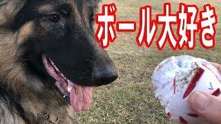 ジャーマンシェパード犬 のマック君 今日もご機嫌で荒川河川敷で散歩で...
