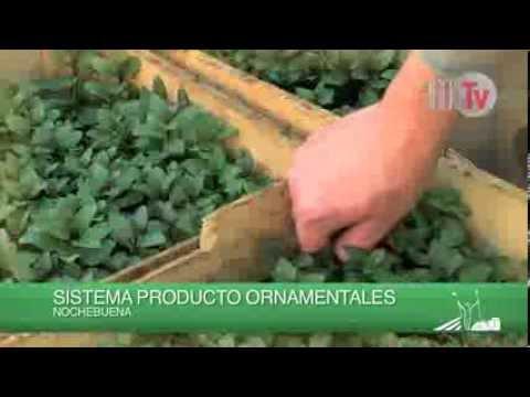 Produccion de plantas ornamentales en el d f youtube for Produccion de plantas ornamentales