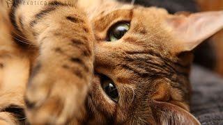 Бенгальская кошка Буся - Замедленная съемка / Bengal Cat Busya - Slow motion