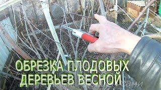Советы опытных садоводов по обрезке груши, видео урок о правильной обрезки дерева весной