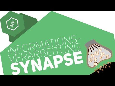 Vorgänge an den Synapsen - Zweiter Teil | Biologie | Neurobiologieиз YouTube · Длительность: 1 мин59 с