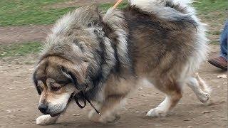 A Tibetan Mastiff, a Greyhound, and Two Bandogs at Dog Park