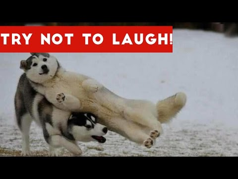 Thumbnail: Try Not To Laugh At This Funny Dog Video Compilation | Funny Pet Videos