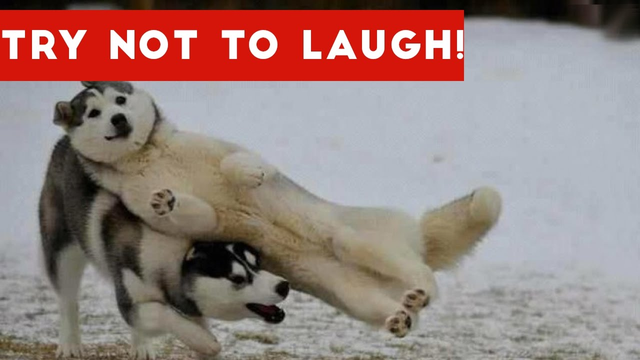 Try Not To Laugh At This Funny Dog Compilation Funny Pets You