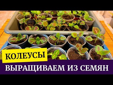 Как вырастить колеус из семян. Пикируем колеус, рассаживаем из кассет