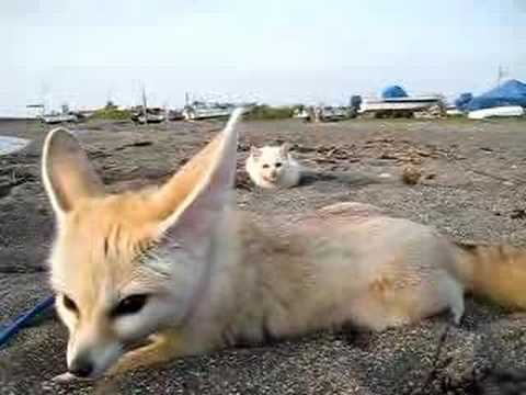 Kitten sneaking up on fennec fox