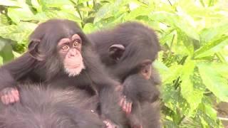 Download Video チンパンジー 双子の赤ちゃん108  Chimpanzee twin baby MP3 3GP MP4