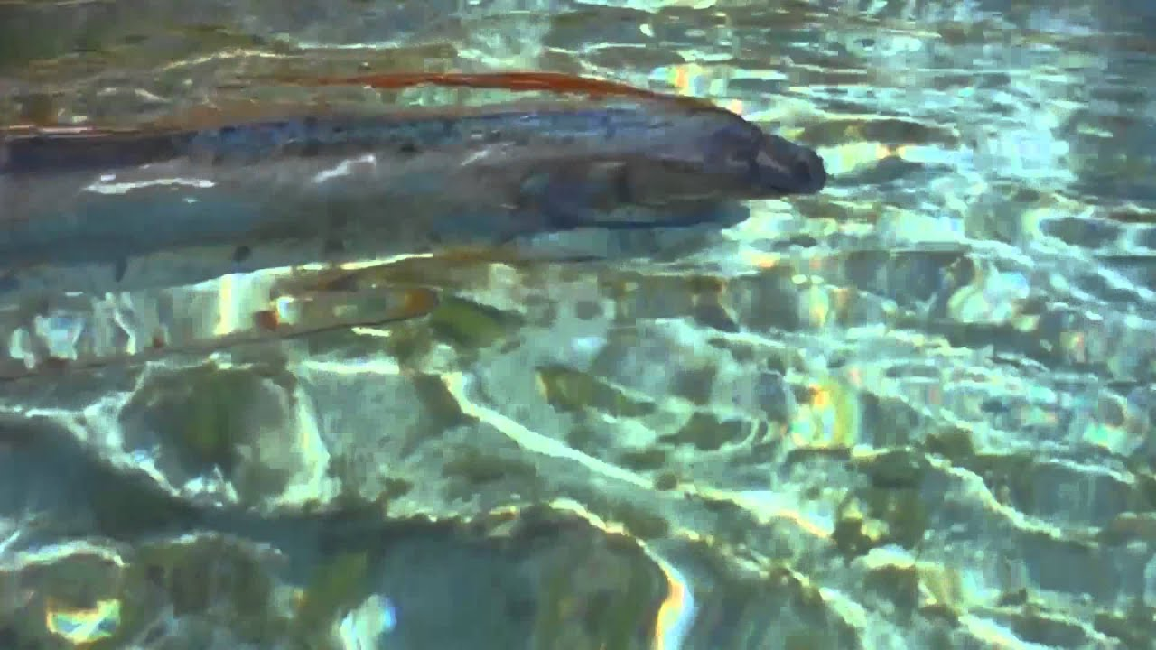 Rare oarfish sighting youtube for World s longest video