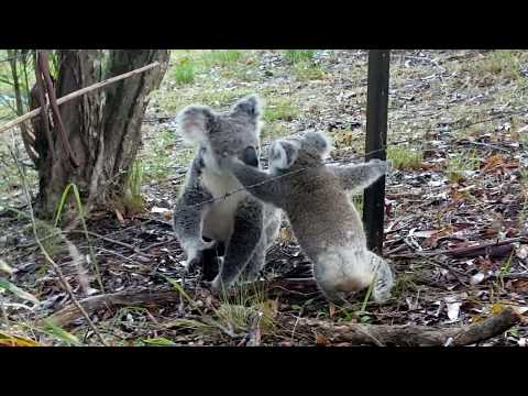 Baby Koala caught on wire - part 2   [ Freedom!]