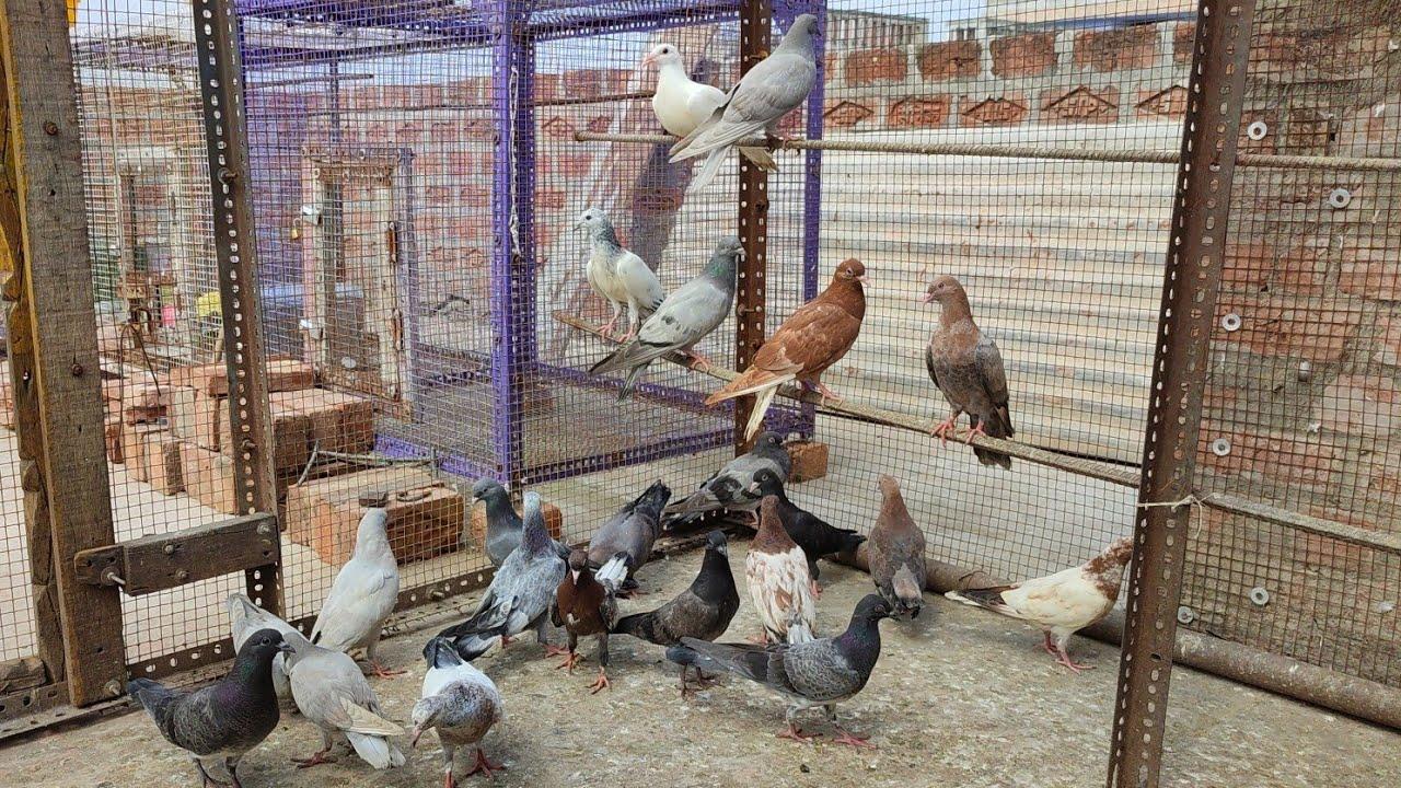 pigeon breeding progress in summer after yaas cyclone   23 patthe huwe tayyar   khathan, silayti etc