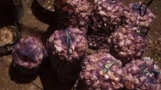Урожайность чеснока под соломой. Когда продавать чеснок,что бы по максимуму заработать?