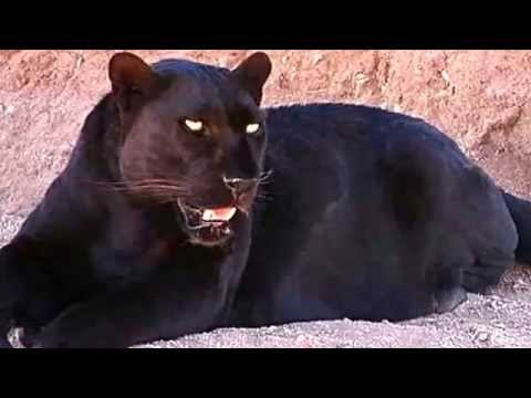 Black Panther Facts: 13 Facts about Black Panthers - YouTube