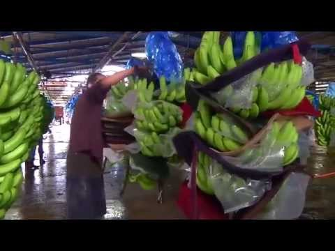 Banana from the field to markets