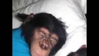 Пробуждение малыша шимпанзе