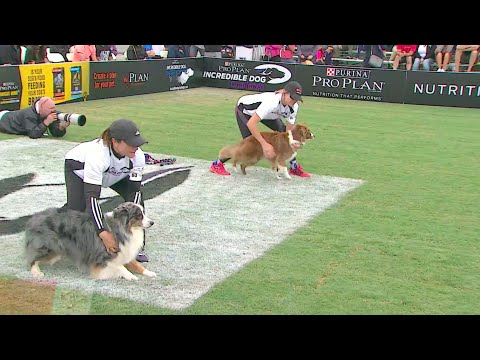 30 Weave Up & Back Competition - 2016 Purina Pro Plan Incredible Dog Challenge Western Regionals