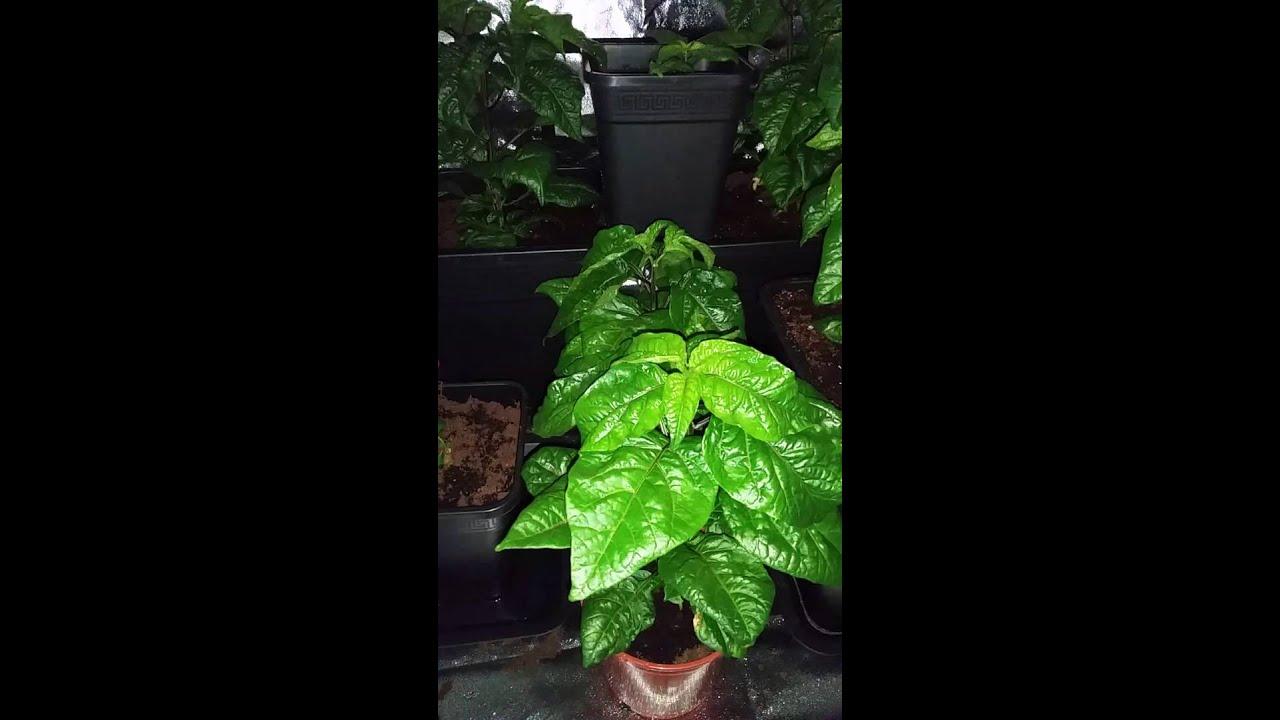 Carolina Reaper indoor grow Carolina Reaper indoor