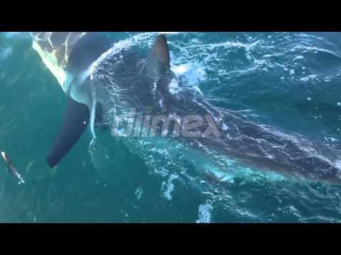 Great White Shark Close Encounter Off Foster, NSW Australia