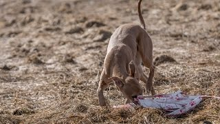 Anthrax Go-Bye, first lure coursing training. Russia, Noviy Mi…