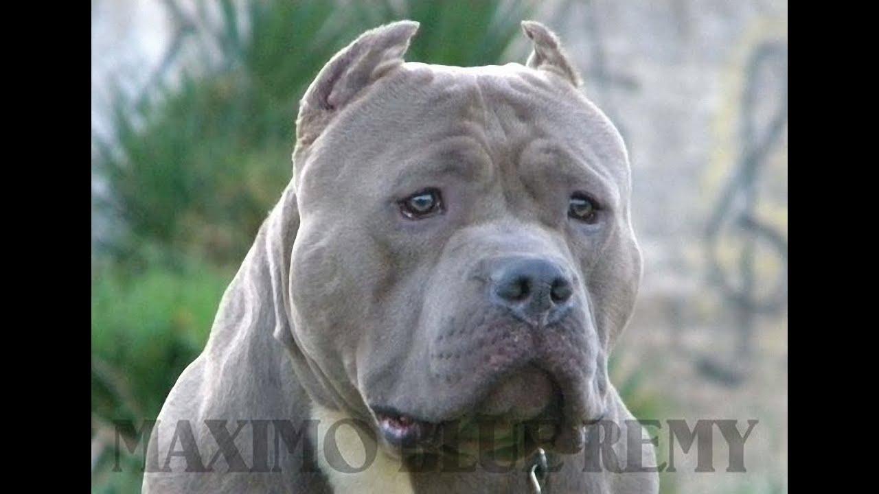 M 192 Ximo Blue Remy American Bully Padre De Piston Head De