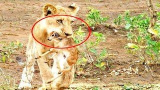 हिरण के बच्चे के साथ शेरनी ने जो किया, देखकर यकीन करना है मुश्किल