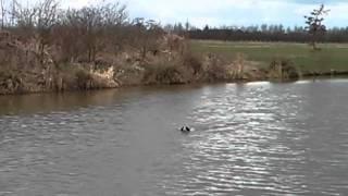 English Springer Spaniel Chasing Ducks