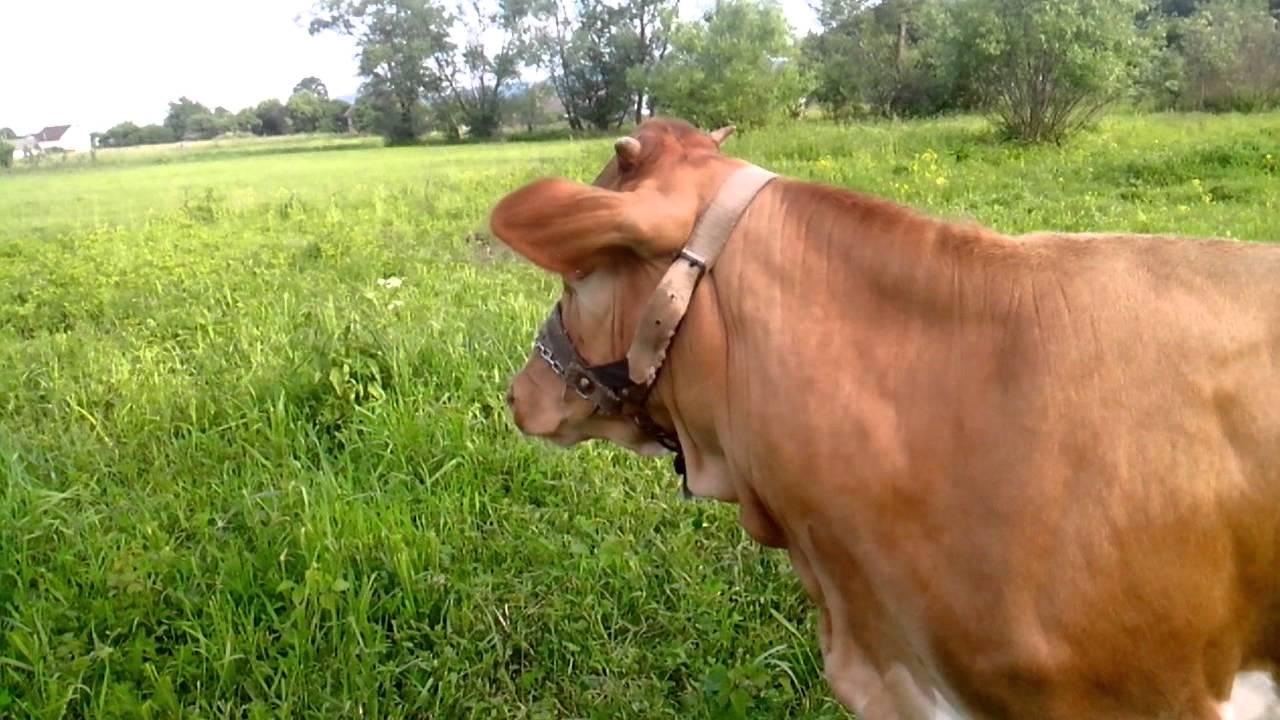 Корова на лугу - YouTube