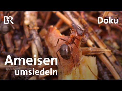 Umsiedelung eines Ameisenhügels: