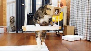 当たり前のように箱を被るねこ。Maru puts on the box as a matter of course.