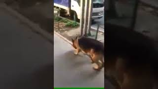 Харьков  Пропала овчарка, чепрачный кобель, кличка Рей  0502985247