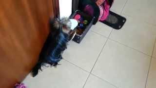 Darya - Yorkshire Terrier - Tidying Up Toys