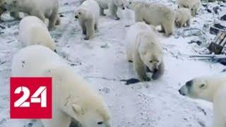 видео: Медвежье нашествие: людям на Новой Земле запретили ходить поодиночке - Россия 24