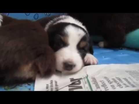 3 week old puppy finds his bark! Australian Shepherd