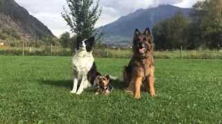 Yorkshire Terrier - German Shepherd - Border Collie - Dog Tricks