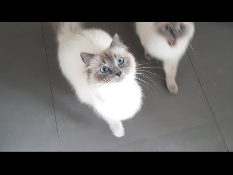 we want to eat! our ragdolls cats are hungry hihi! so funny meow !! crazy cat ♡