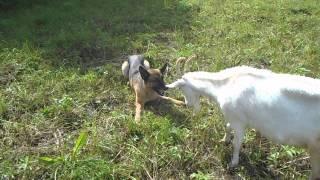 Коза и собака