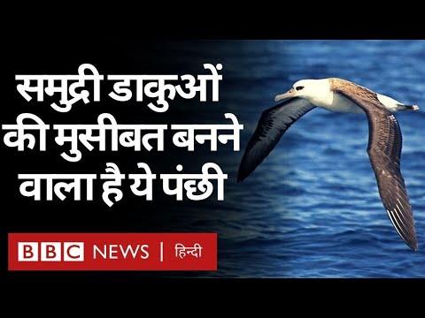 Albatrosses : समंदर का सबसे जांबाज़ पंछी अब समुद्री डाकुओं और चोरों को पकड़वाएगा... (BBC Hindi)