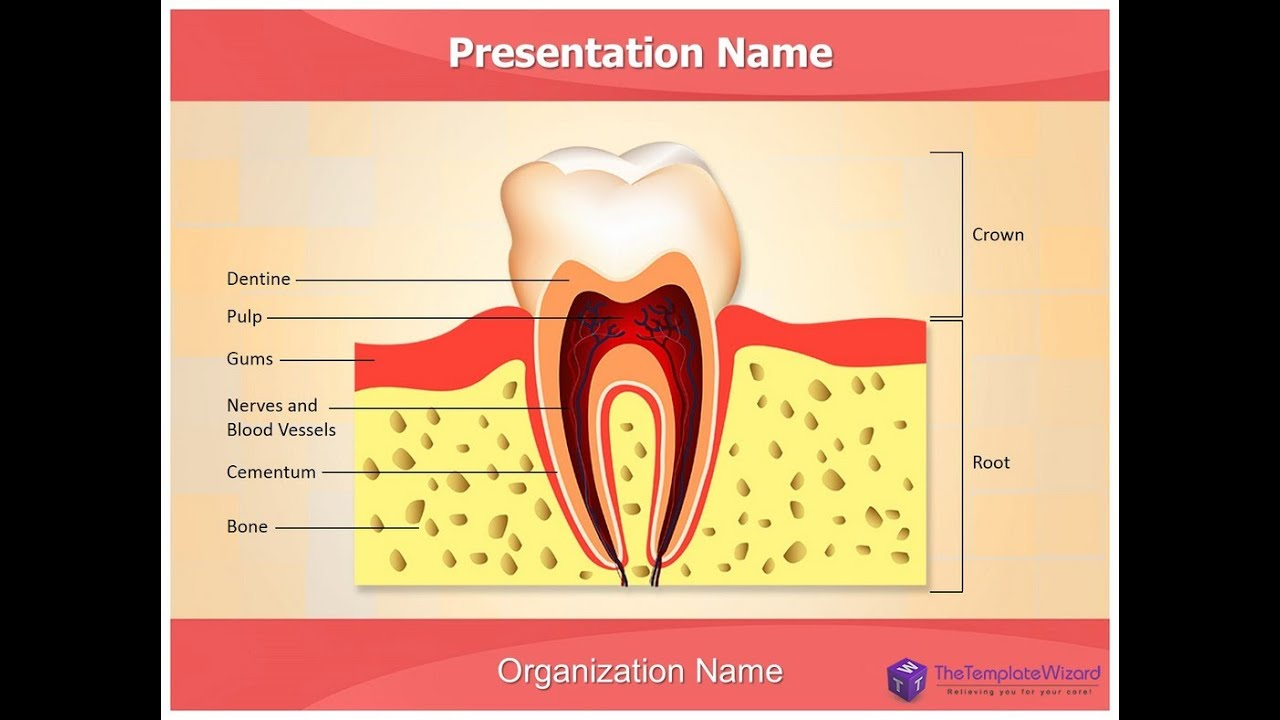 Dental Anatomy PowerPoint Presentation Template - TheTemplateWizard ...