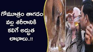 గోమూత్రం తాగడం వల్ల శరీరానికి కలిగే అద్భుత లాభాలు..!!    Health Benefits Of Cow Urine