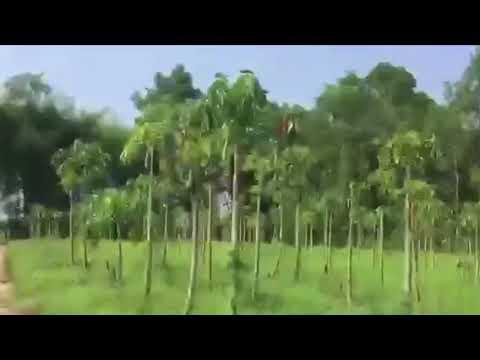 Organic papaya farm in Thailand