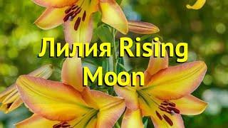 Лилия от гибрид Райзинг Мун. Краткий обзор, описание характеристик lilium Rising Moon