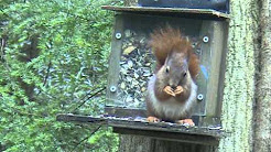 Red squirrel at a feeder near Llangoed village on Anglesey, Wales