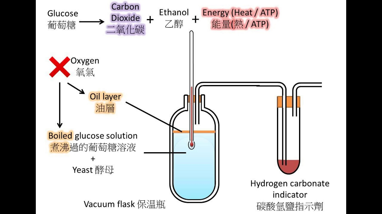 effect glucose concentration anaerobic respiration yeast Anaerobic yeast respiration the effect of glucose concentration on anaerobic respiration in yeast essay the effect of glucose concentration on anaerobic respiration.