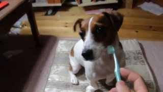 使い古しの歯ブラシがあったので、ダイフクの歯を磨いてみました。