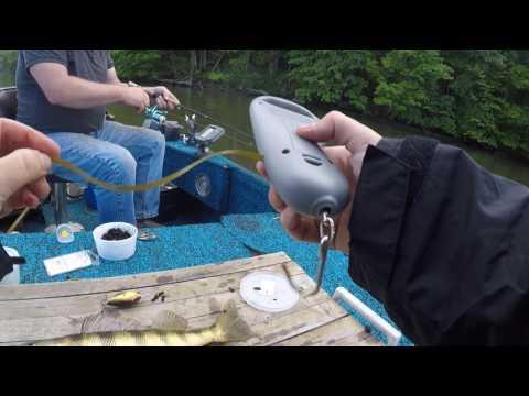 Perch Fishing At Cheat Lake, WV