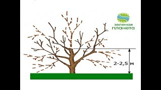 видео Как обрезают деревья в саду. Обрезка деревьев плодовых летом и зимой