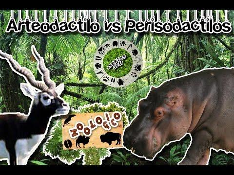 Diferencias entre artiodáctilos y perisodáctilos |Ungulados| (Zoológico virtual) | ¿Sabias Qué?|