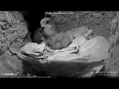 żywotność małego Petrela Bermudy  Gniazdo 2017