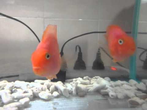 Blood Parrot Cichlid Tank