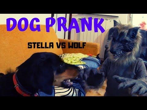 DOG PRANK  STELLA VS WOLF
