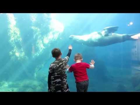 2015 Steller Sea Lions at Alaska Sealife Center